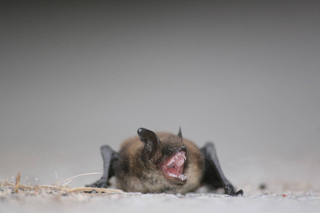 Picture of a bat for safely and humanely removing bats from your house