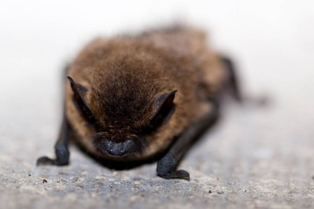 image of bat for how long does bat removal take