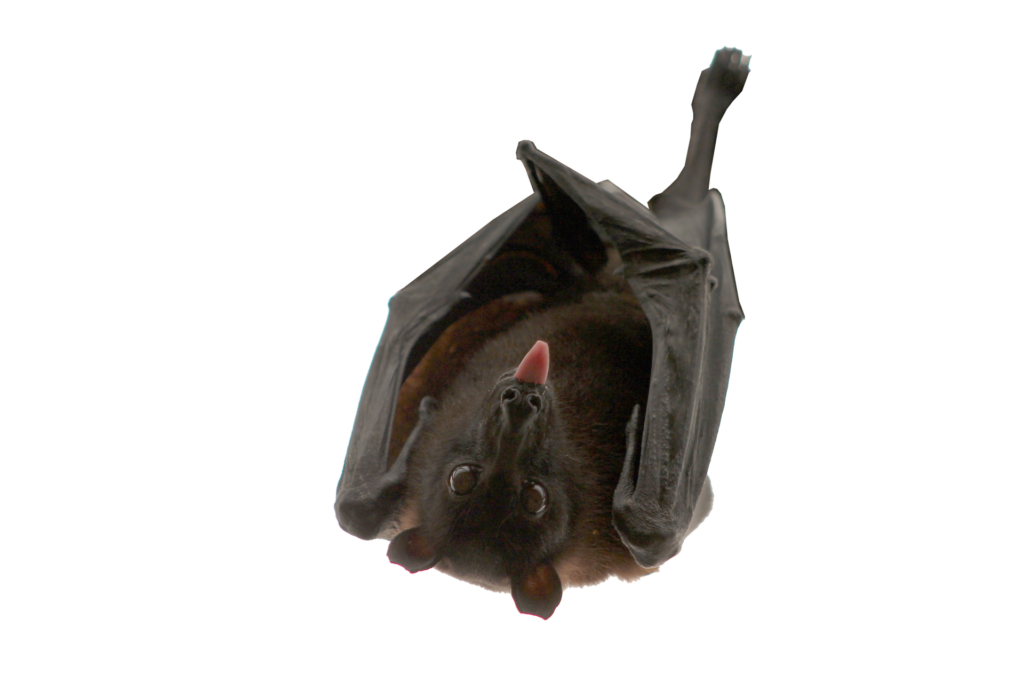 Picture of a bat for bat removal costs