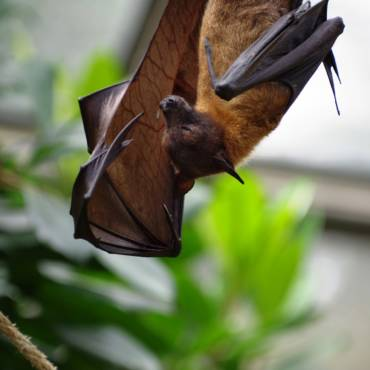 Bat Roosts | Where do Bats Roost