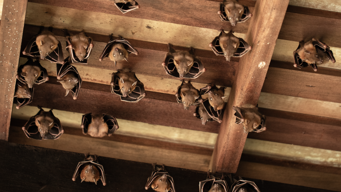 When to Call Professional Bat Removal   The Bat Guys