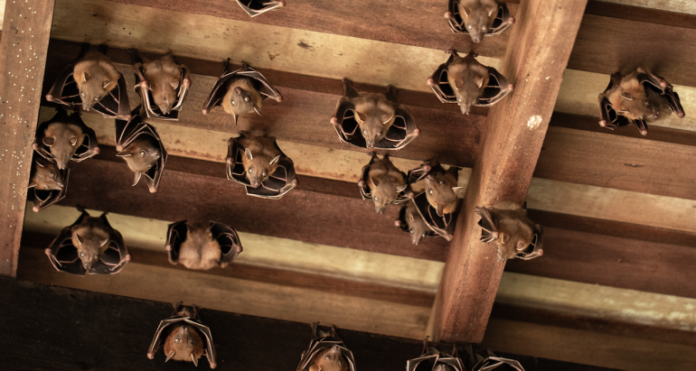 When to Call Professional Bat Removal | The Bat Guys