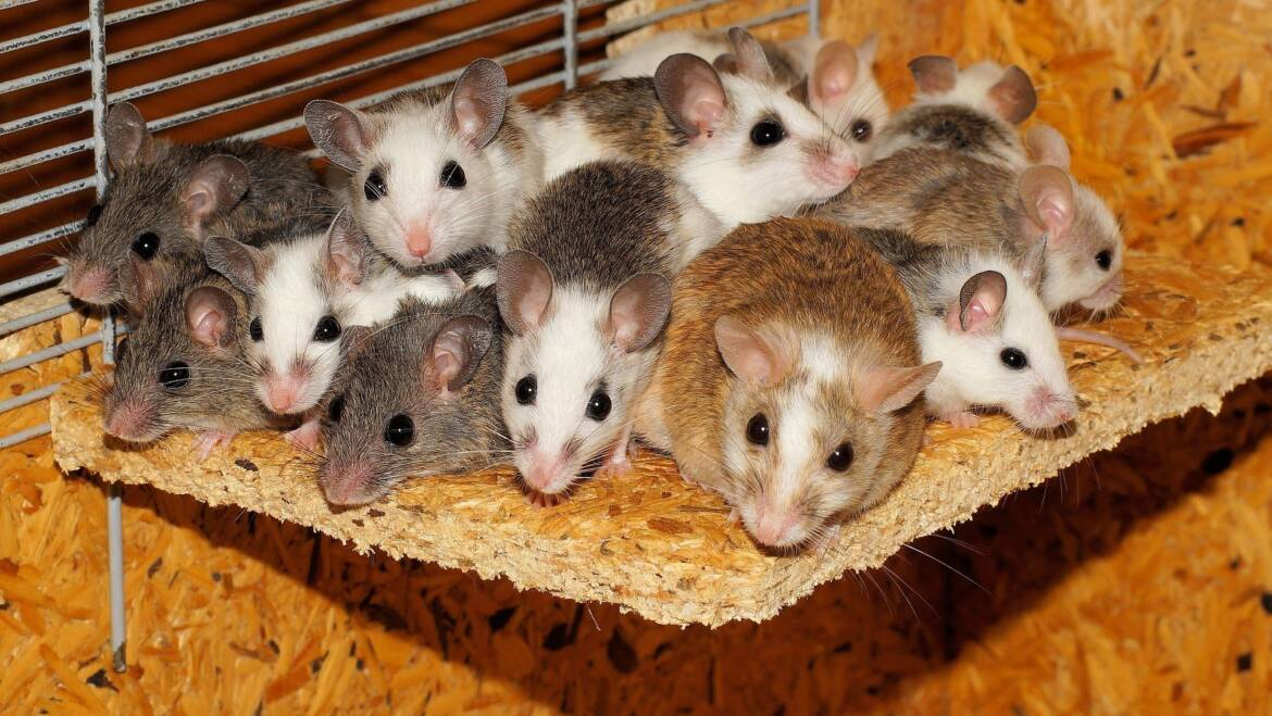 How to Tell if you Have a Bats or Mice Infestation