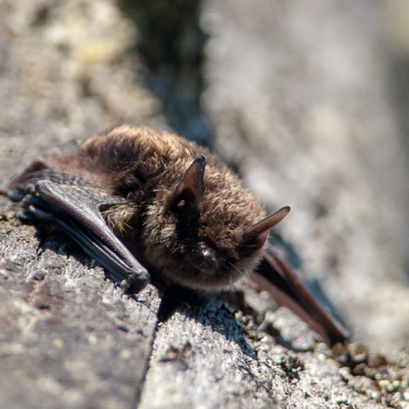 Brown Bat Facts | Eating, Sleeping, and Reproduction