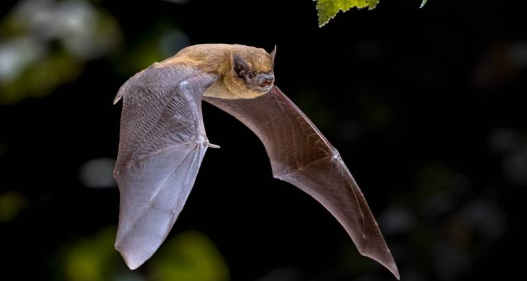 The Most Common Bats in North America